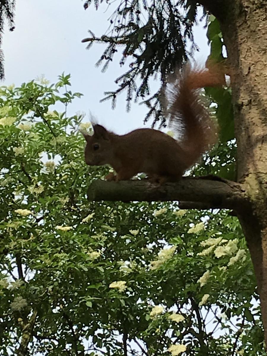 Eines der vielen unserer Eichhörnchen